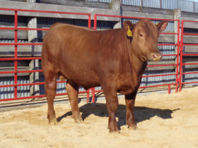 High Indexing Red Angus #130